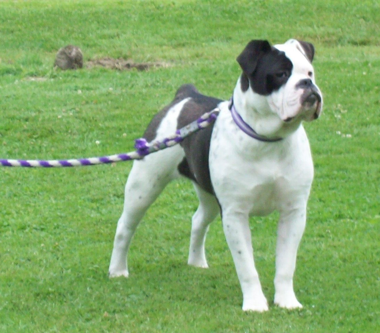 Olde English Bulldogge Females